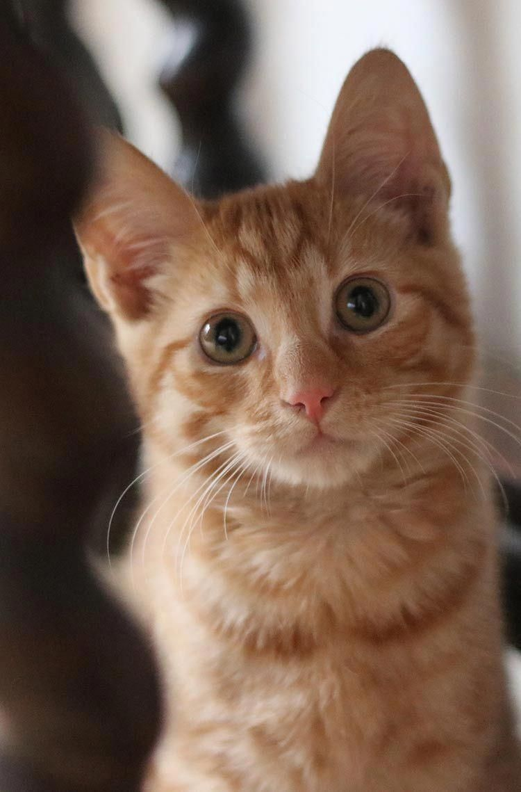 Billy The Ginger Kitten At 16 Weeks Old Catsandkittens Ginger Kitten Cute Baby Cats Cat Breeds