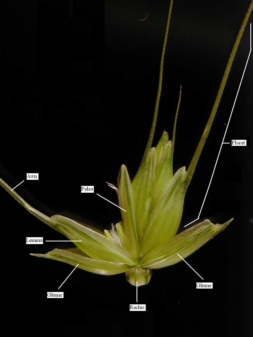 wheat flower anatomy - Google Search | GRASS | Pinterest | Flower ...