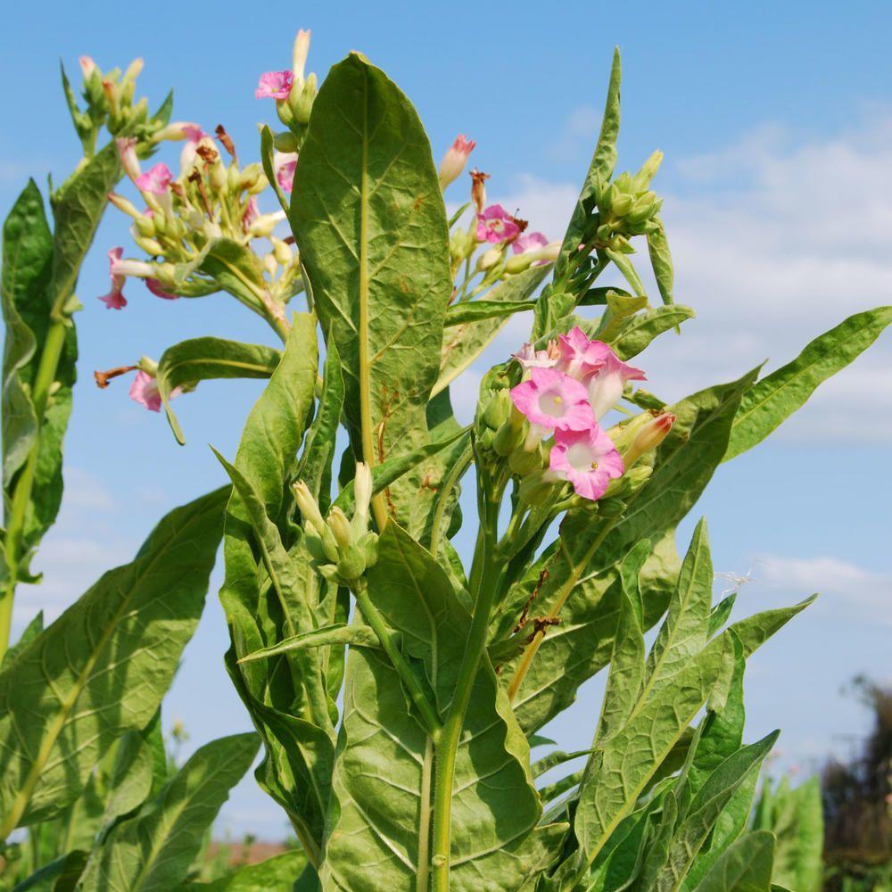 Tabakpflanze Anbau Pflege Ernte Und Verwendung Pflanzen Anbau Stauden