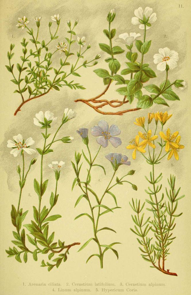 Alpen-Flora für Touristen und Pflanzenfreunde Stuttgart :Verlag für Naturkunde Sprösser & Nägele,1904. biodiversitylibrary.org/page/10384005