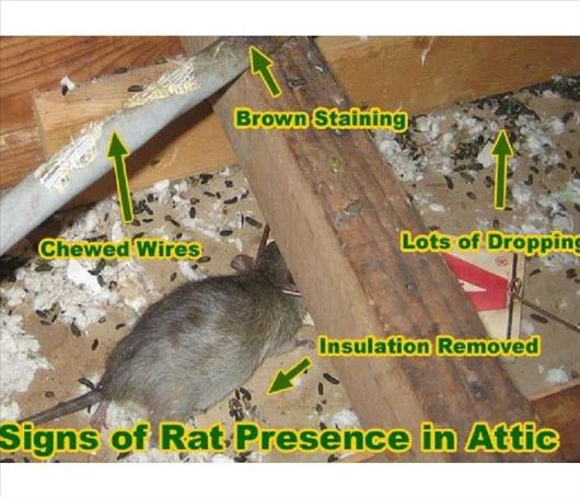 Biohazard Cleanup Needs To Be Handled By Professionals If You See Any Of Th Getting Rid Of Rats Getting Rid Of Mice Rodent Infestation