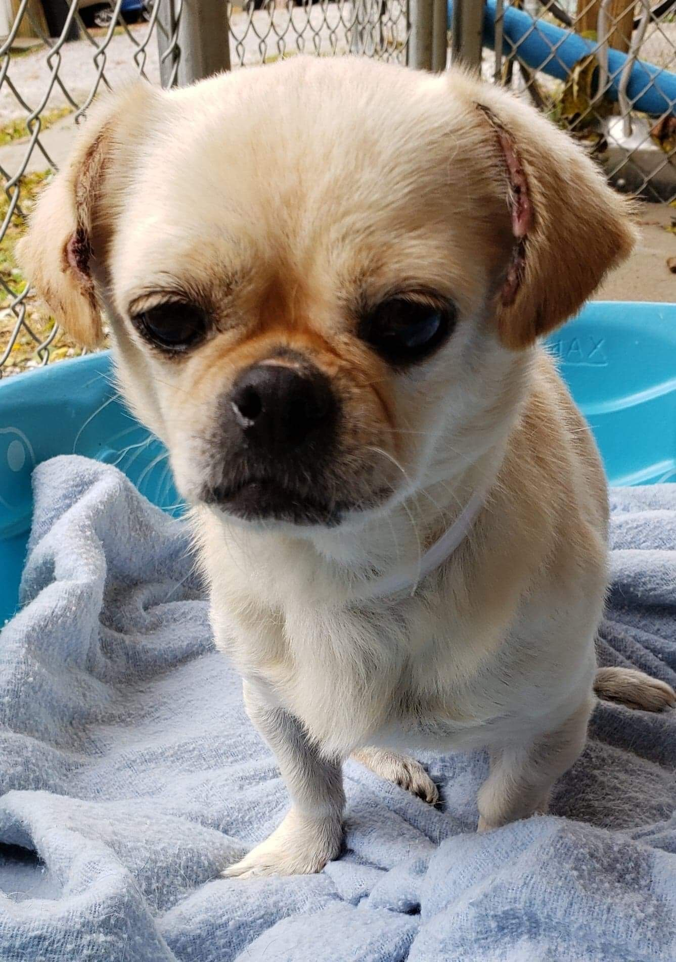 Adopt Loulou On Rescue Dogs Dogs Pug Mix