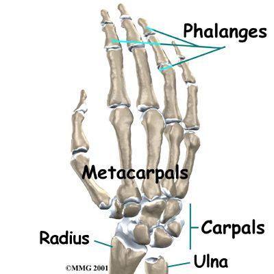 Pianists can remember Phalanges are the finger bones, the ...
