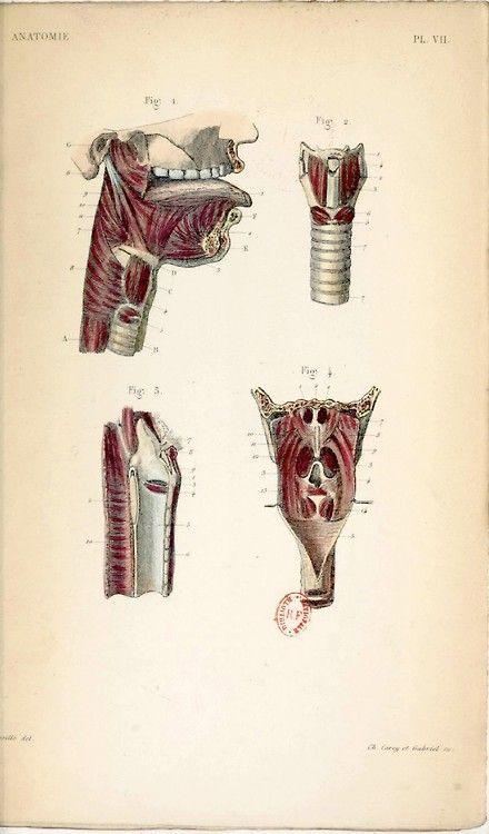 Anatomie, planche VII. Par Antonin Bossu (1809-1897). In ...