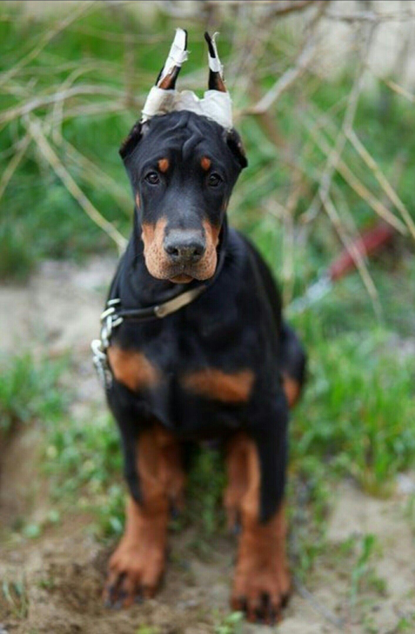 Pin By K9 Handler On Doberman Doberman Puppy Doberman Dogs