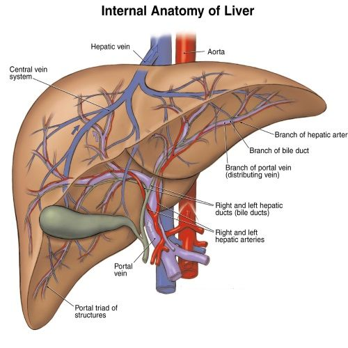 The Liver and Liverstones | Herbs, Anatomy and Bodies