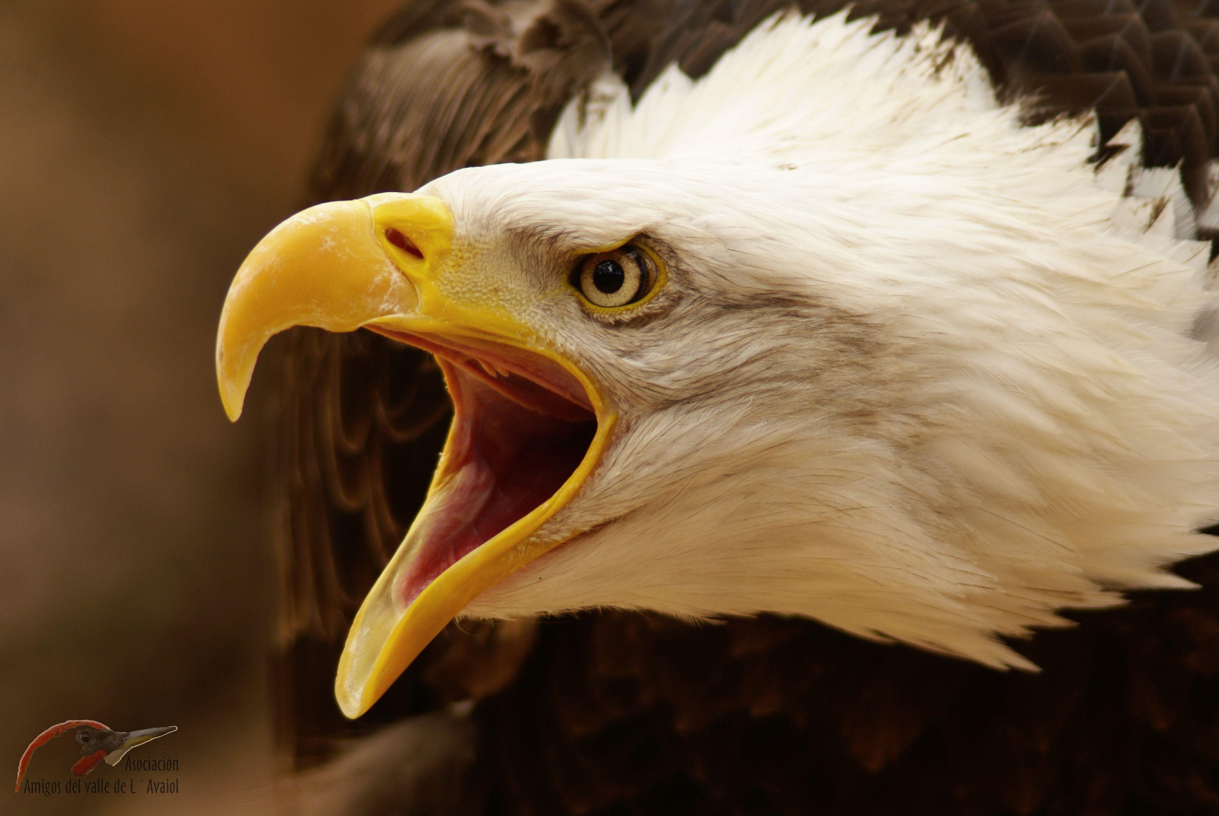 Otra imagen del águila calva.   alcala   Pinterest   Águila calva ...