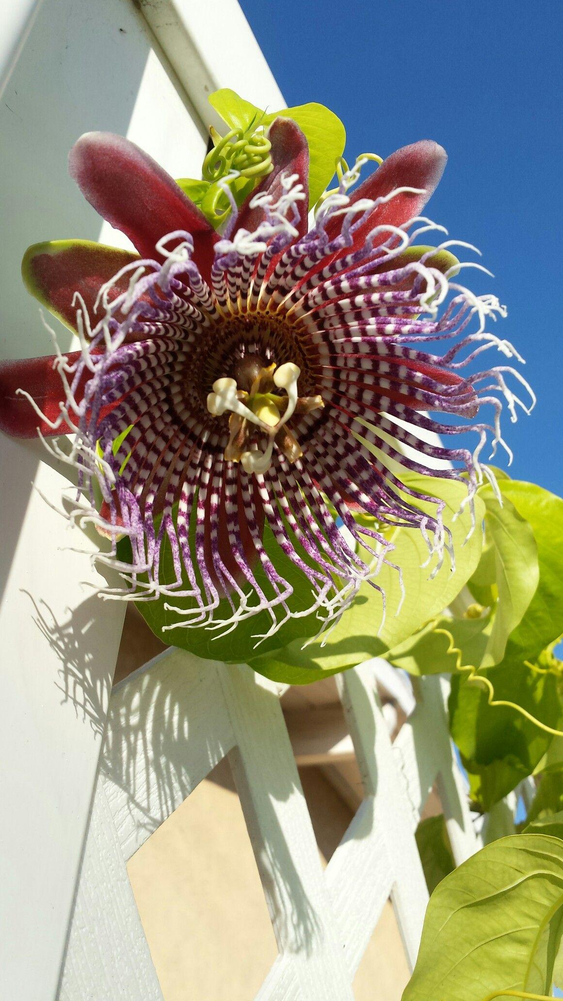 Purple Tiger Passion flower
