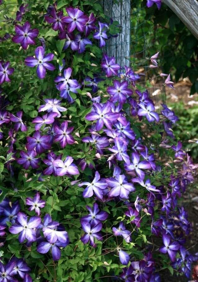 clematis sorten tipps pflegen schneiden le bleu au jardin pinterest clematis pflanzen und. Black Bedroom Furniture Sets. Home Design Ideas