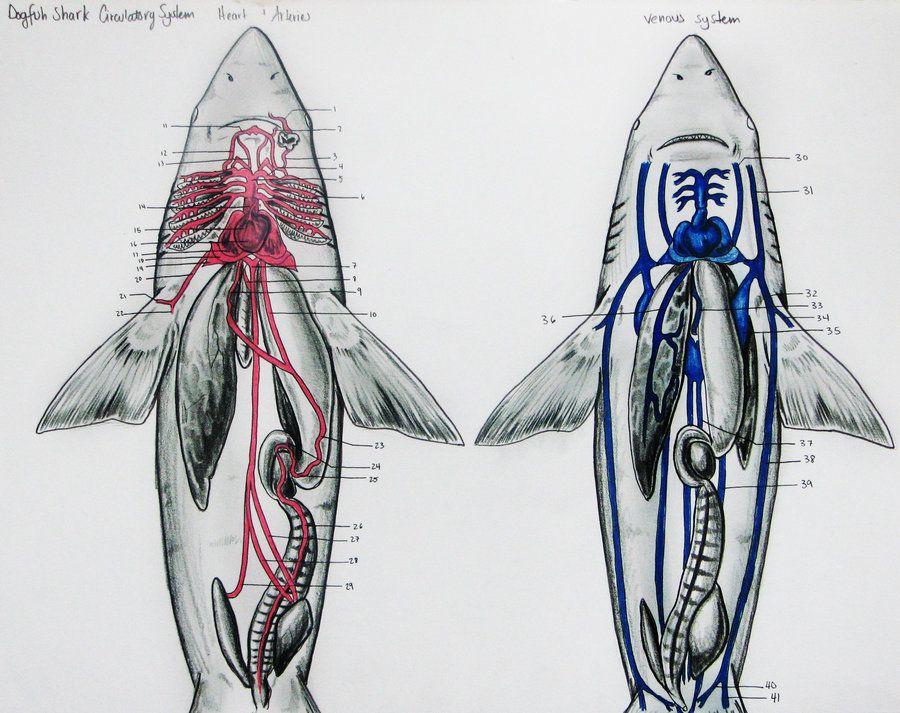Dogfish Shark Circulatory by JacquelineRae … | SLC Idea…