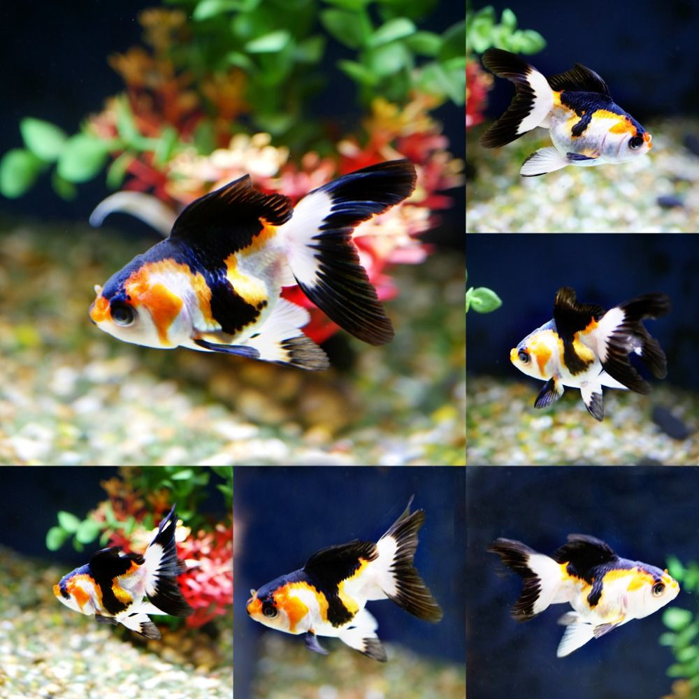 Goldfish For Sale Online All Pictures Are Taken By Windsor Fish Hatchery They Are Of The Exact Koi You Will Receive Li Goldfish Goldfish For Sale Fish Hatchery