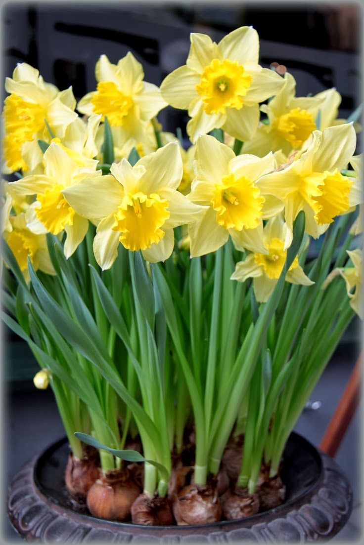 como-plantar-narcisos (11) | Flores bonitas, Flor de jardinagem, Flores de  nascimento