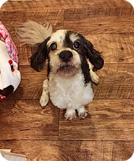 Bedminster Nj Poodle Miniature Cockapoo Mix Meet Pops A Dog For Adoption Http Www Adoptapet Com Pet Miniature Cockapoo Dog Adoption Miniature Poodle