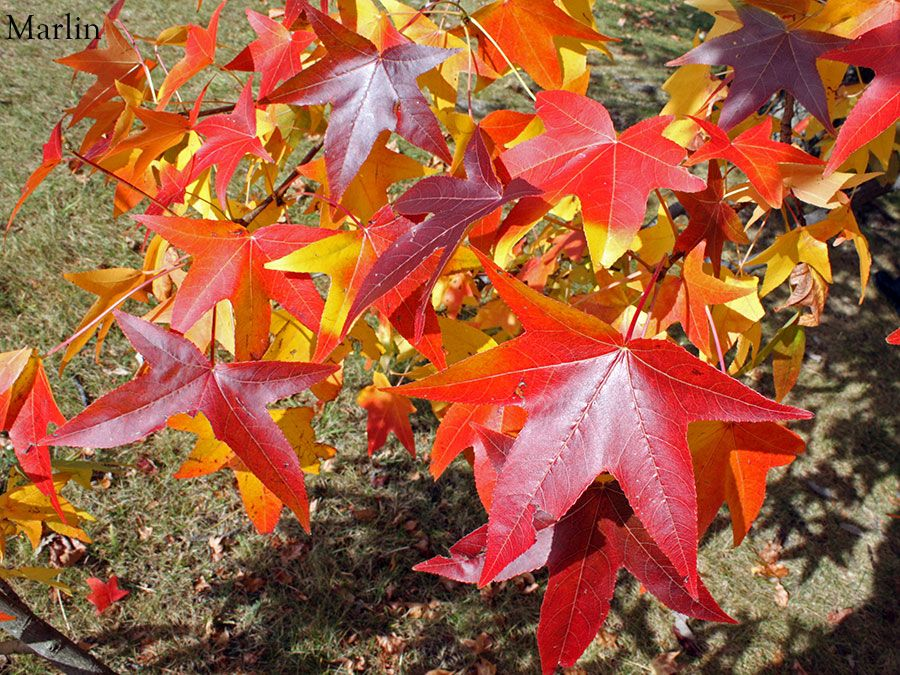 Sweet Gum Fall Sweet Gum Fall Foliage Foliage