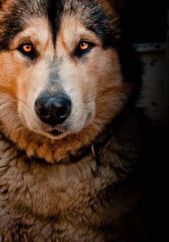 Alaskan Malamute Malamute Puppies Malamute Husky Alaskan Malamute