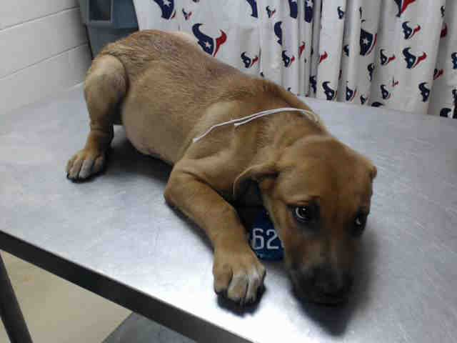 7/15** 9 weeks old! DELILAH - ID#A463253 - located at Harris County Animal Shelter in Houston, Texas - 9 WEEL OLD Female Lab Retriever - at the shelter since July 06, 2016.
