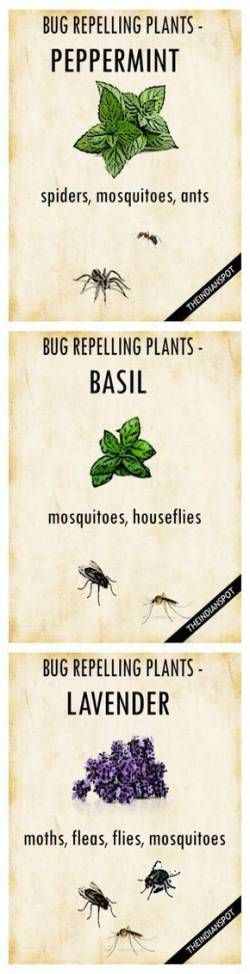 50 Ideas For Plants That Repel Mosquitos Yards Natural #plantsthatrepelmosquitoes