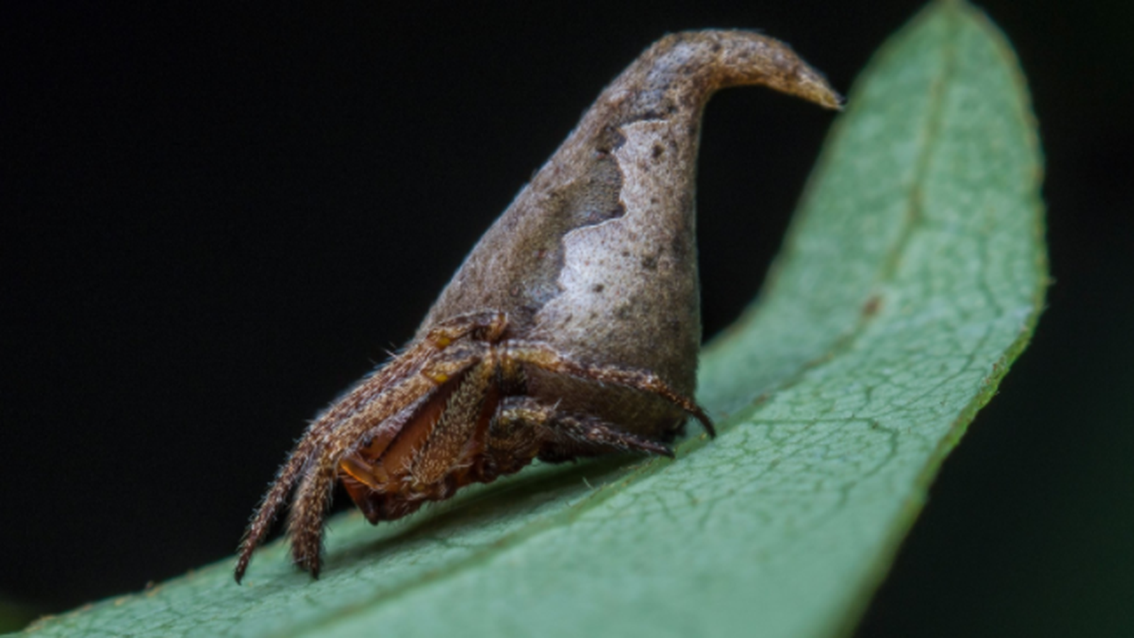 This Fantastic Spider Resembles Harry Potter S Sorting Hat Spider Species Harry Potter Sorting Hat Animal Species