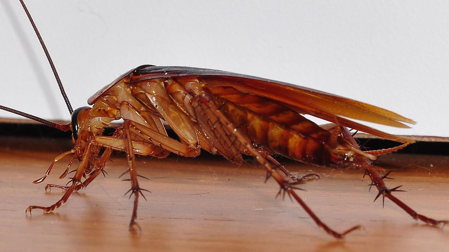 Image result for cockroaches Anti cafard, Cafards
