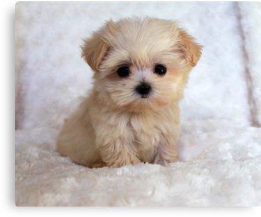 'Cute Puppy' Canvas Print by BigTomo