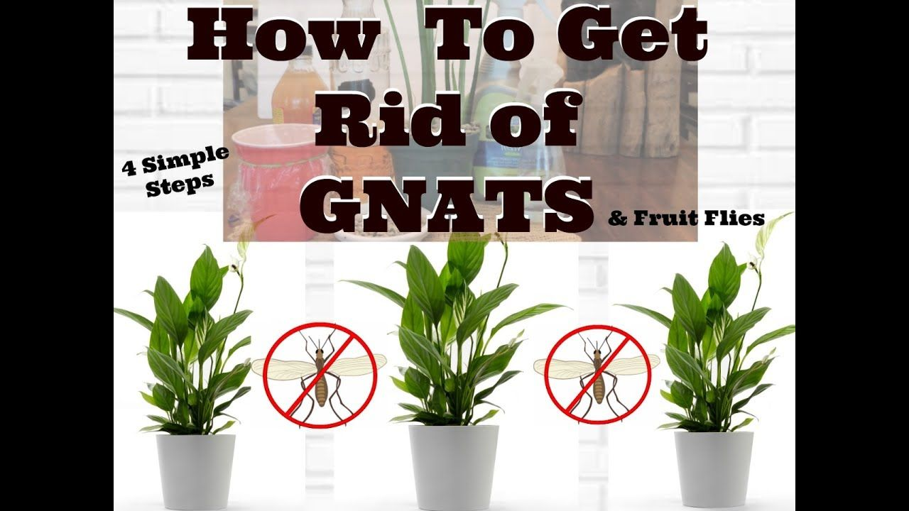 How To Get Rid Of Gnats In Houseplants Youtube Plant Bugs Plant Fungus Growing Plants Indoors