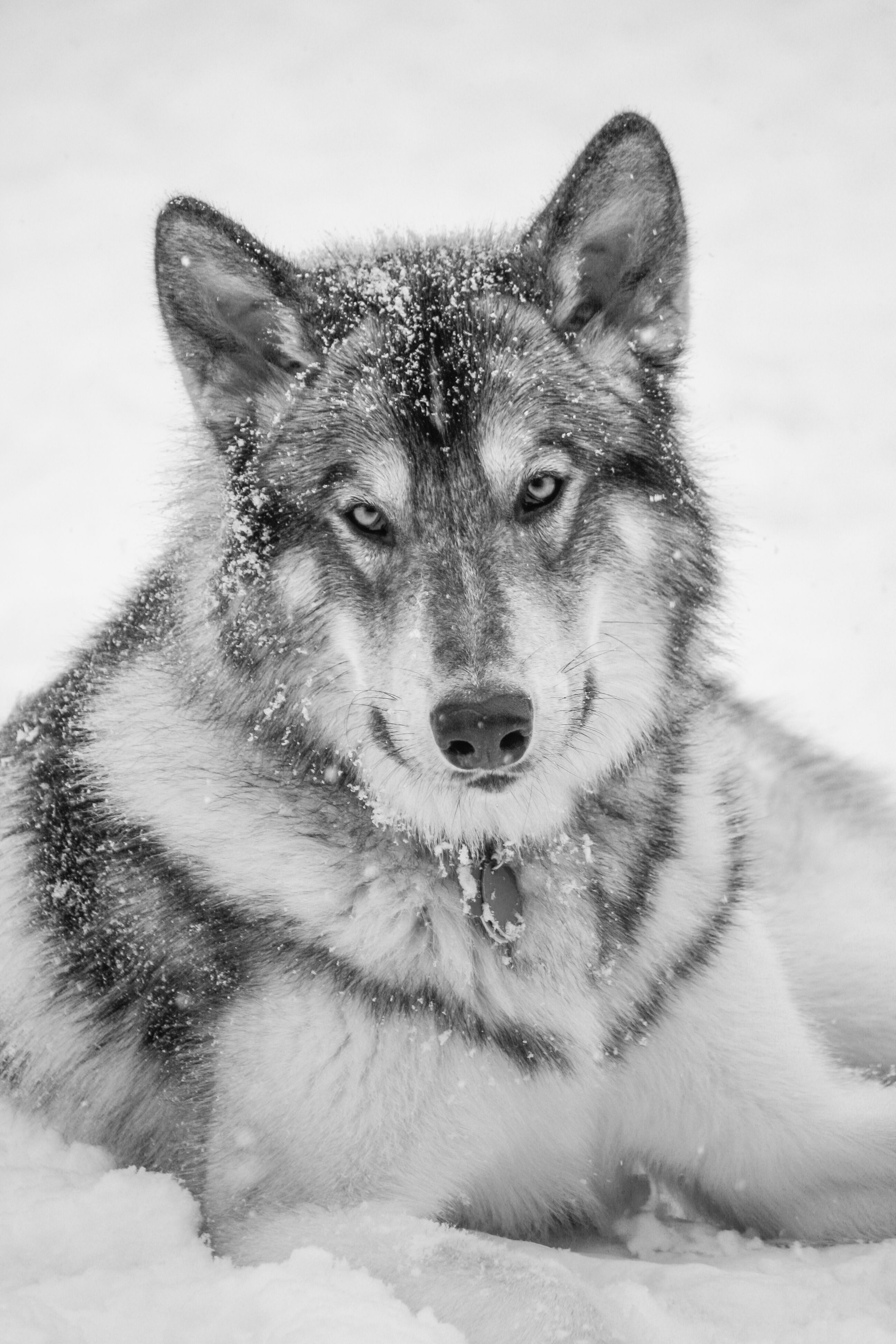 Alaskan Noble Companion Dog - If I was going to have a big
