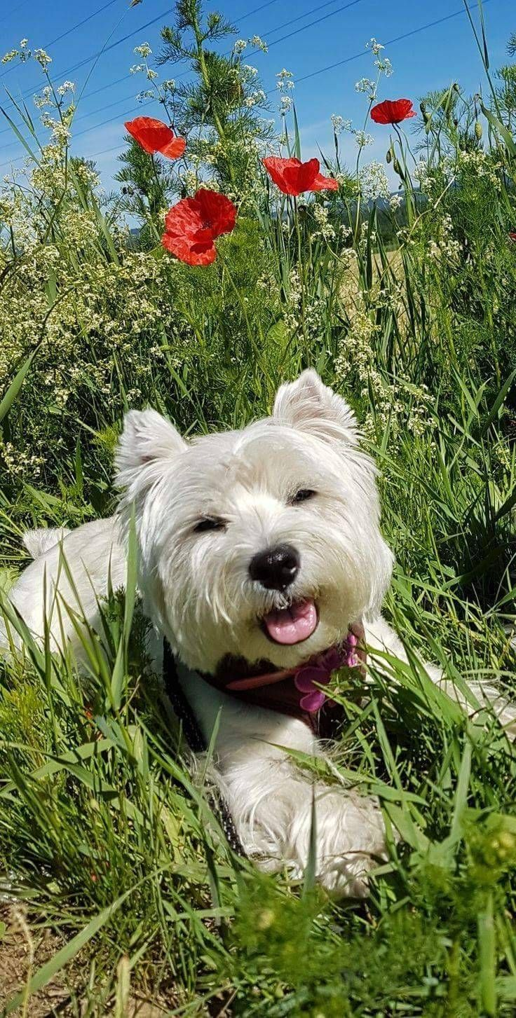 Pin By Norma O Brien On For The Love Of A Westie In 2020 Cute Animals Cute Dogs Beautiful Dogs