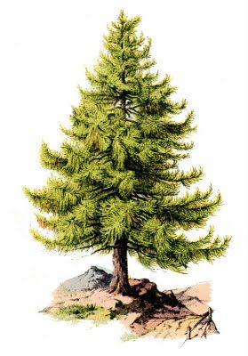 Vintage Clip Art - Perfect Pine Tree - The Graphics Fairy - print this poster size for a small space christmas tree? or advent calendar?