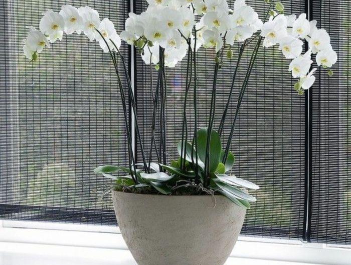 les fleurs d int rieur les orchid es en 40 images plat. Black Bedroom Furniture Sets. Home Design Ideas