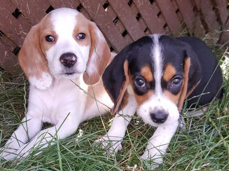 Sadie Blonde And Flo Tri Color The Beagles Beagle Puppy