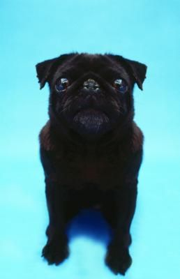 Pugs are a small breed of dog, belonging to the toy group in most kennel club registries. They are brachycephalic, which means they have short, flat faces. Though generally healthy, pugs can become obese, developing skin and other nutrition related problems. Because of this, it is important to feed your pug a healthy diet.
