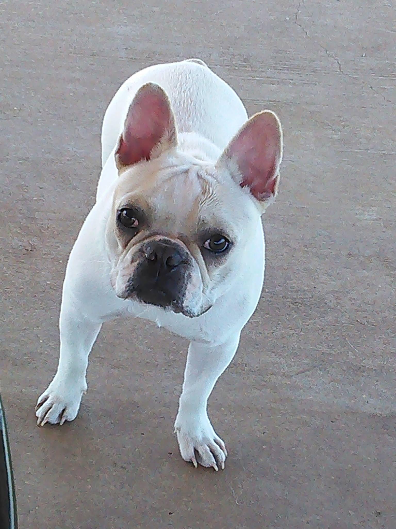 Pin by Teresa Watson on Love French bulldog puppies