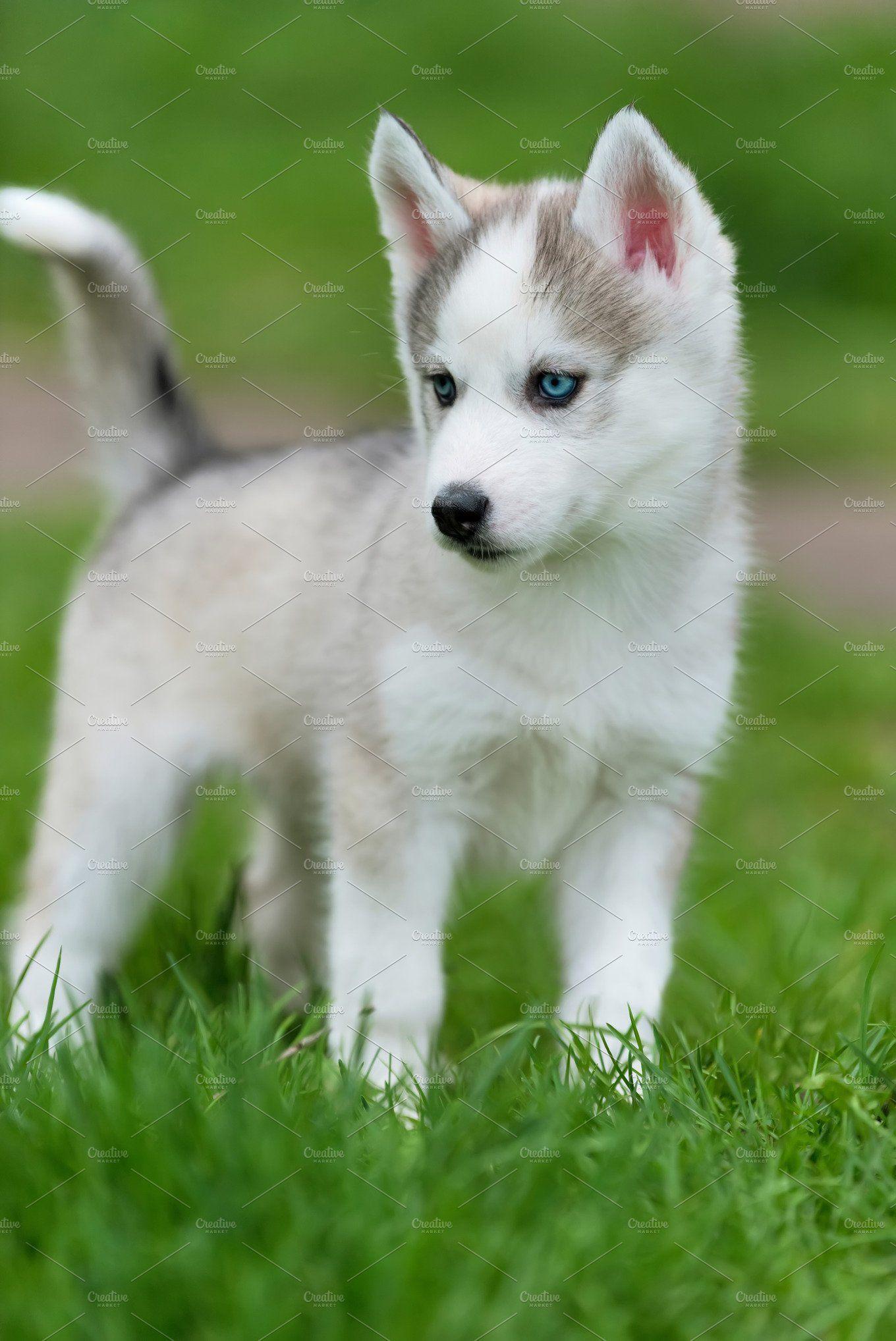Siberian Husky Puppy In 2020 Siberian Husky Siberian Husky Dog