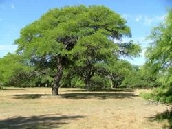 Prosopis chilensis ALGARROBO