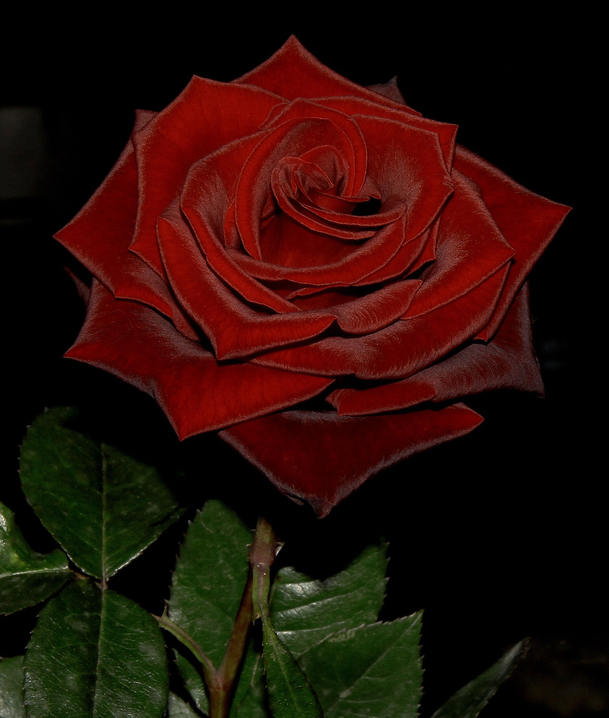 Beautiful red rose flower love red roses pinterest beautiful red rose flower izmirmasajfo