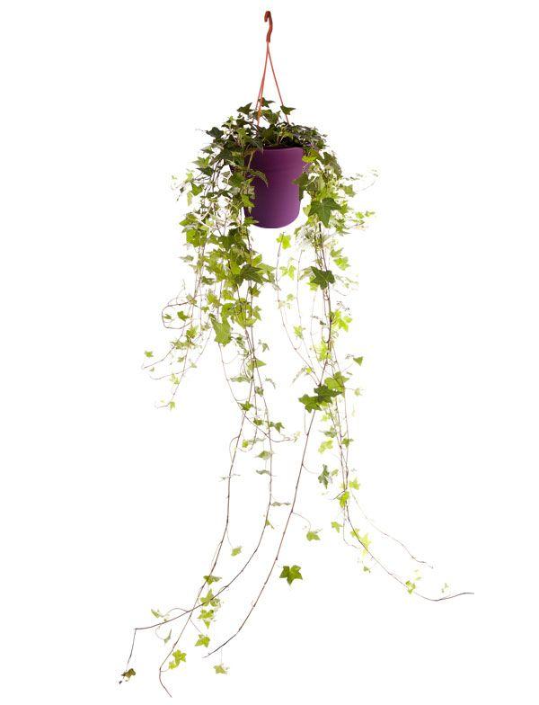 Lierre avec cache pot violet   Plantes d\'intérieur avec pots violet ...