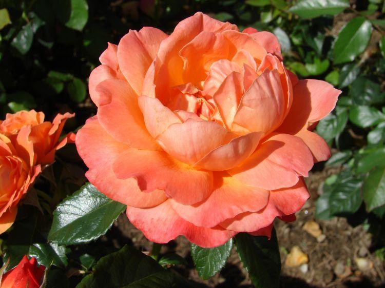 """Ingrid fik også opkaldt denne storblomstrende rose efter sig """"Dronning Ingrid"""""""