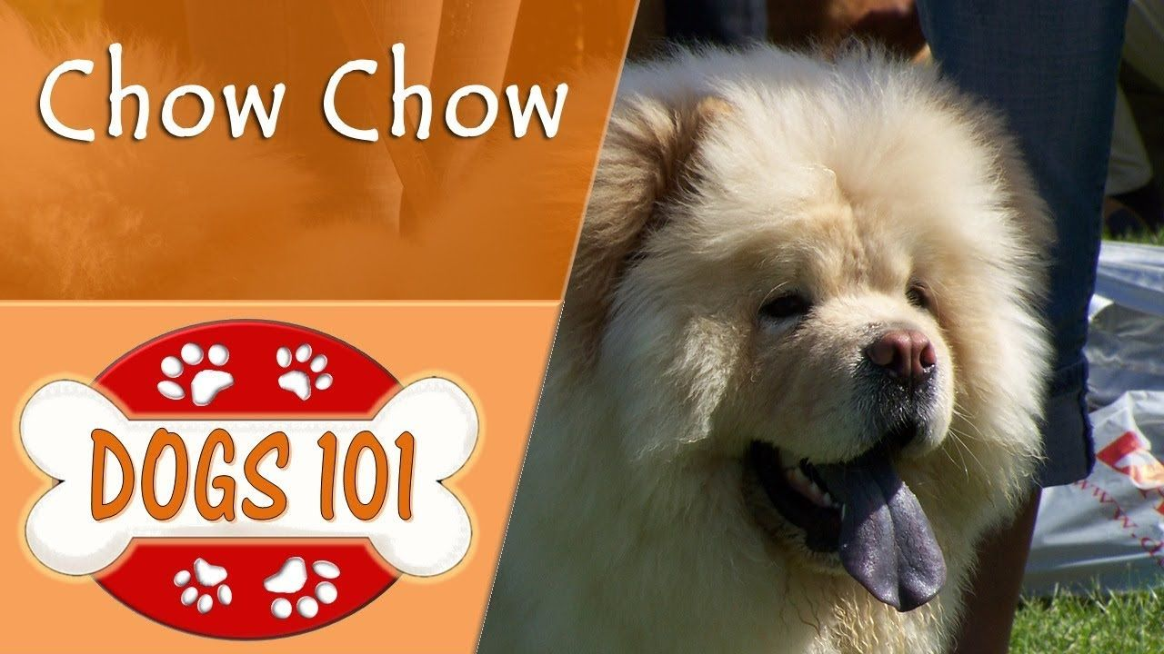 Dogs 101 Chow Chow Top Dog Facts About The Chow Chow Dog