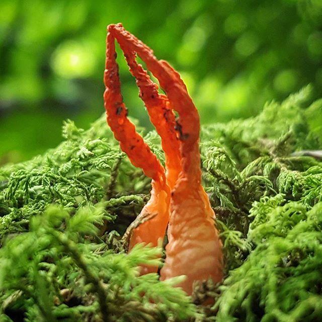 "First time find! Looks like ""Stinky Squid"", Pseudocolus fusiformis? #mycophile #goneshroomin #mycology #fungi #mushrooms #champignon #hongos #shrooms #nature #beautiful #meditation #love"