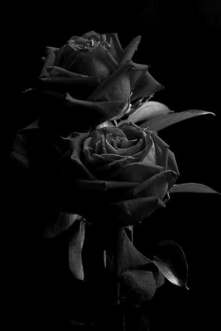Black Rose Wallpaper Phone Black Rose Wallpaper Gif Black Rose Glitter Wallpaper Black Flowers Wallpaper Black Iphone Background Black Background Wallpaper