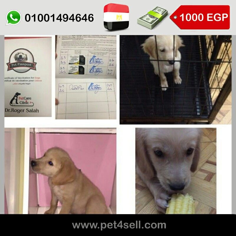 Alexandria Egypt Pure Golden Retriever Male 60 Days Toilet Trained Eats Fresh Food And Dry Food Vaccinated With Ce Golden Retriever Toilet Training Puppies