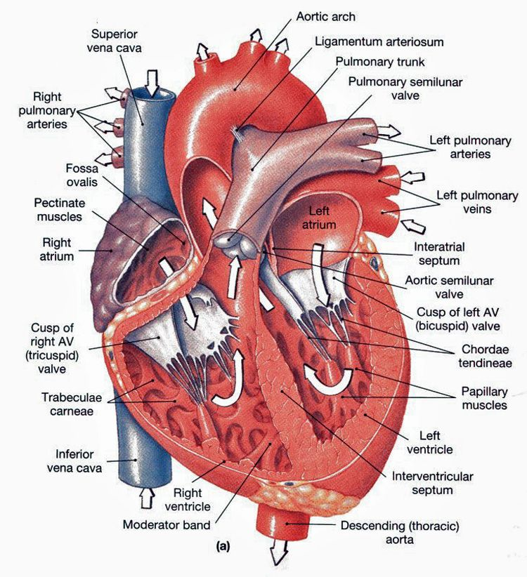 Heart anatomy - Frontal section | Medical | Pinterest | Heart ...
