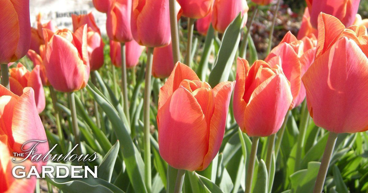 How To Get Your Tulips To Bloom Again Next Year The Fabulous Garden Growing Tulips Bloom Planting Tulips