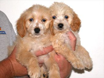 Cocker Maltese Cocker Spaniel Maltese Mix Puppies Terrier