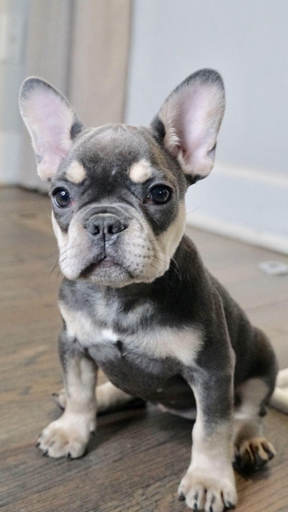 blue and tan french bulldog #walterthefrenchbulldog blue and