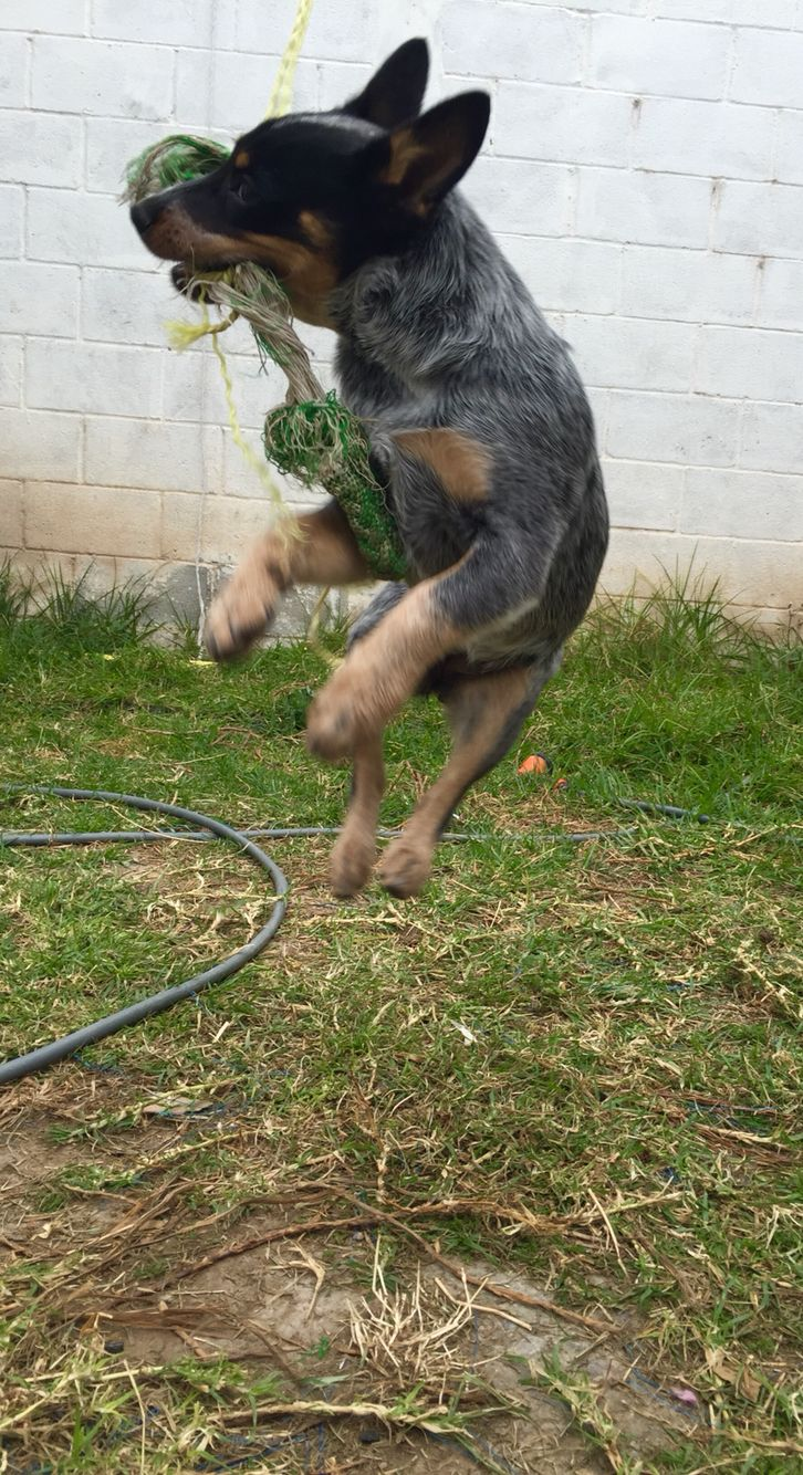 Blue Heeler Gray In Jump Training Dog Activities Cattle Dog