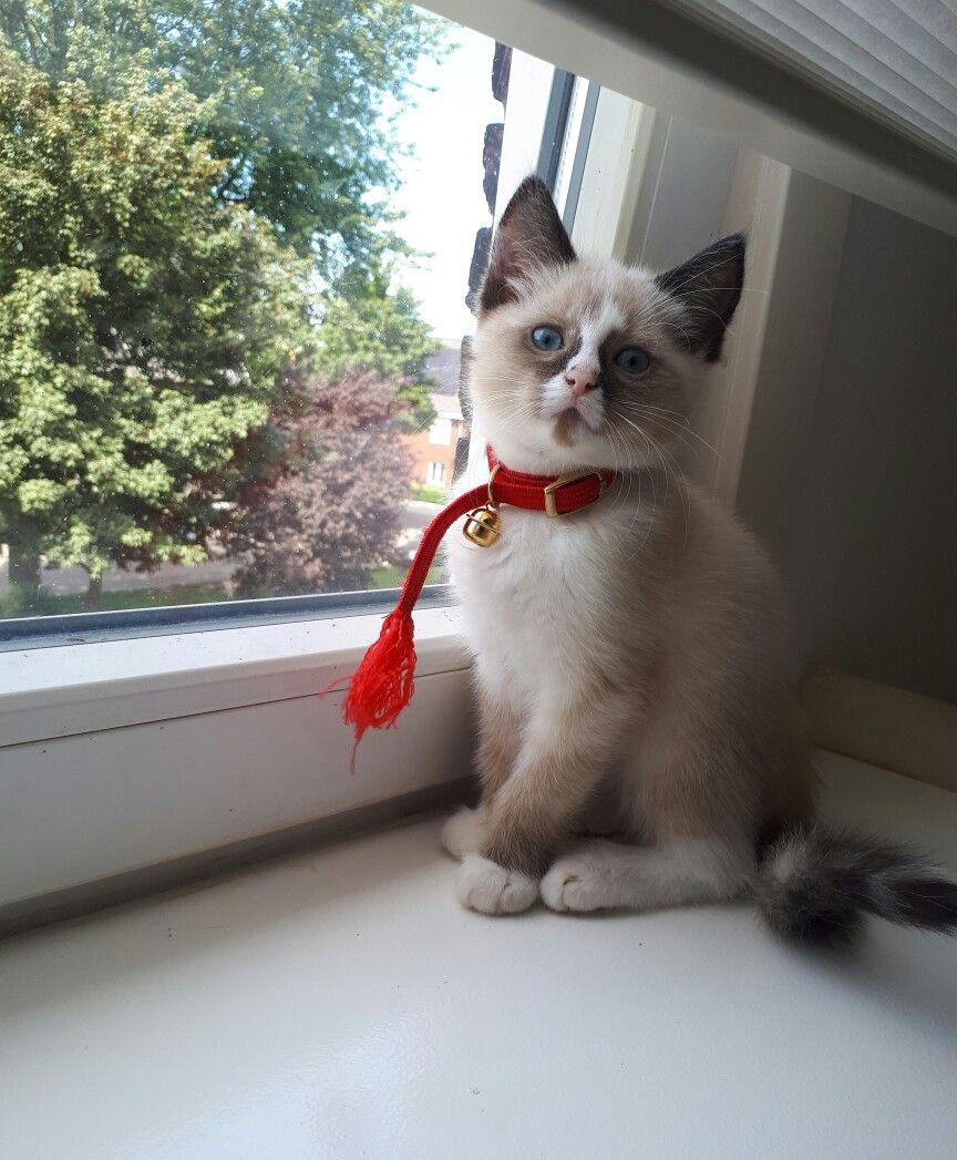 Frederique Ragdoll Siamese Mix Kitten 10 Weeks Ragdoll Cat