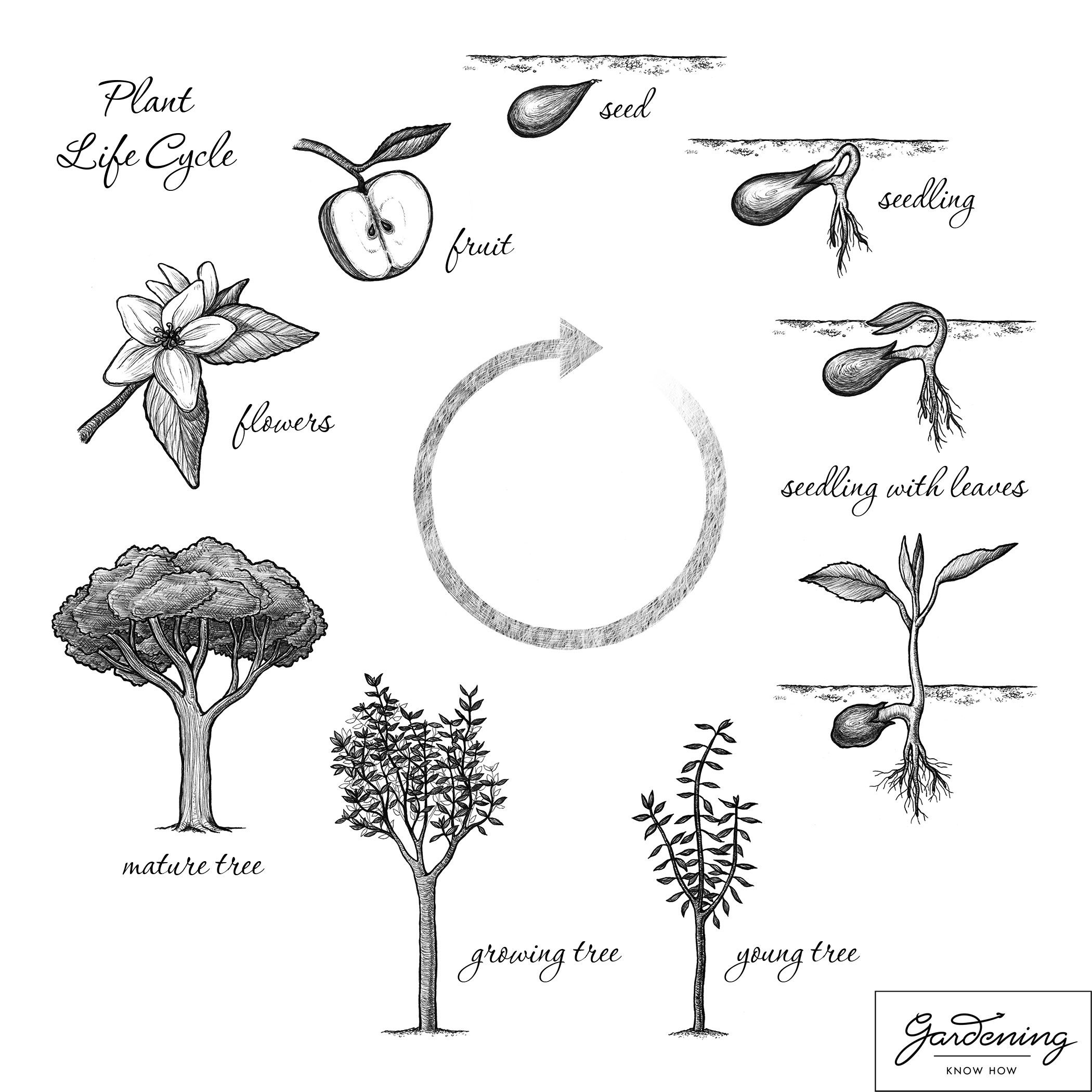 Basic Plant Life Cycle And The Life Cycle Of A Flowering