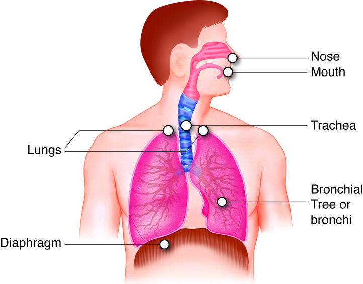 Labeled diagram of the respiratory system organs and their locations labeled diagram of the respiratory system organs and their locations ccuart Gallery