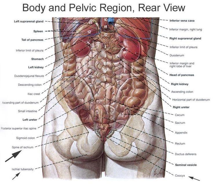 Image result for human organ anatomy health pinterest anatomy anatomy organs ccuart Image collections